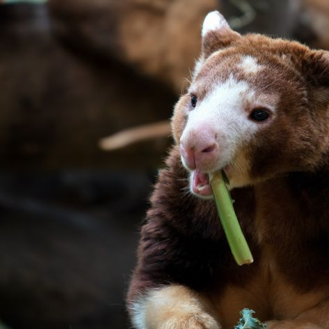 Cute little eating Kangaroo