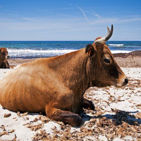 Sleeping Cows on the Rugged Fautea Beach