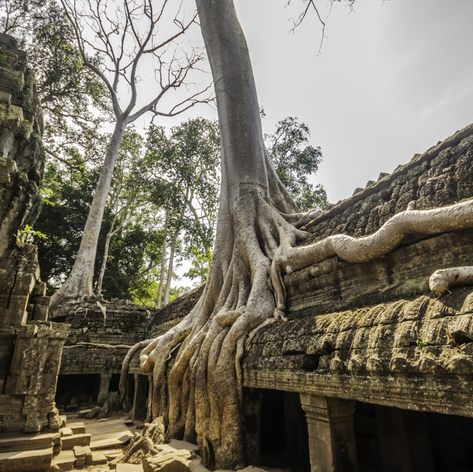 Tree with roots on the wall of the temple