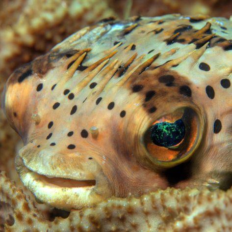 Resting ballonfish