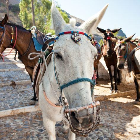 Donkeys on the Streets of Thira in Santorini
