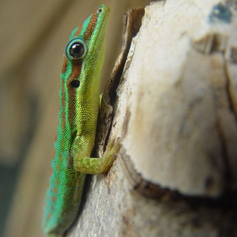 Stripped lizard with big eyes on the tree