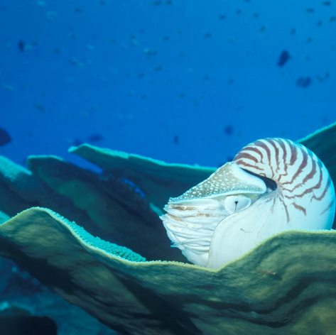 Nautilus resting on fan coral