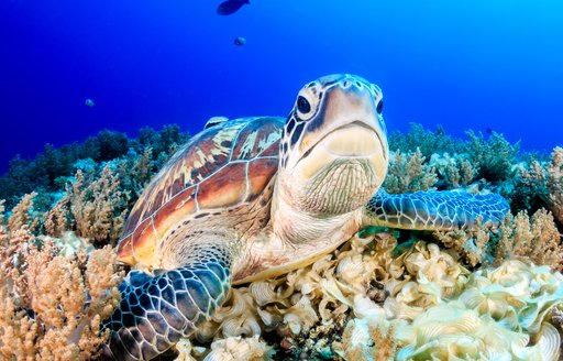 little ugly turtle face in the coral seabed in australia