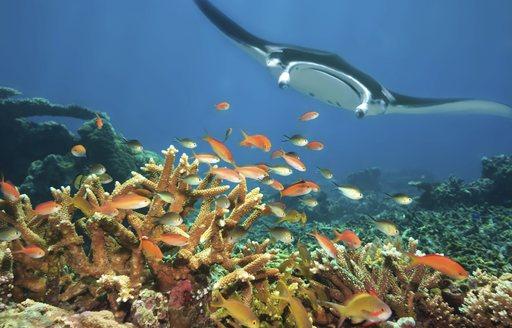 Manta ray and coral