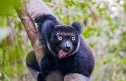 Indris, the largest lemur of Madagascar grasps a branch with its tongue stuck out
