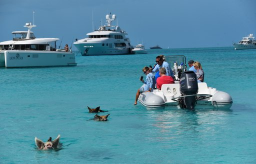 pigs swim in the water at pig beach with superyachts and tenders surrounding