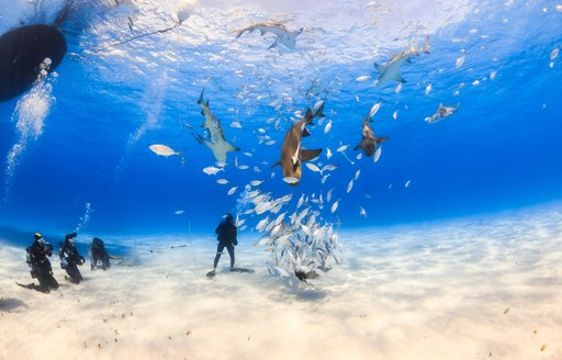 people scuba dive on sandy ocean floor in the bahamas, surrounding by fish and several sharks with surface of the ocean see in background of shot