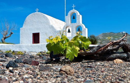 a tightly bunched grape vine grows in a winery in Santorini with a church nearby