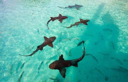 Nurse sharks in the Exumas, Bahamas