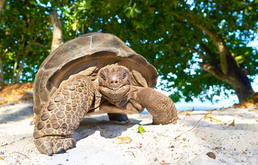 turtle on white sand beach in seychelles with trees in background