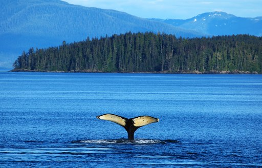 whale tail rises from water in alaska, with forest backdrop