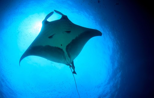 Manta ray swims in the crystal clear waters of Komodo