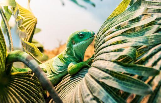 Lizard in palm tree Fiji