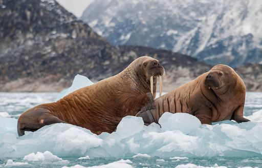 Two walruses sit on sheet of ice in the Arctic