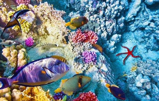 Belize coral reefs, with angel fish