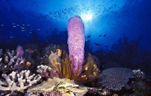 Coral, BVI
