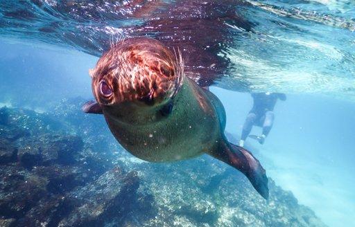 An inquisitive sea lion, Galapagos