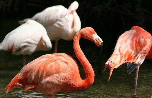 A flamboyance of flamingos in the Galapagos