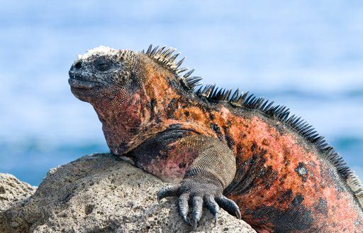 A basking marine iguana in Galapagos