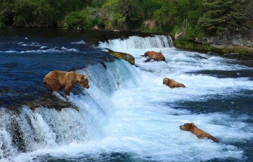 bears catching salmon in river in alaska