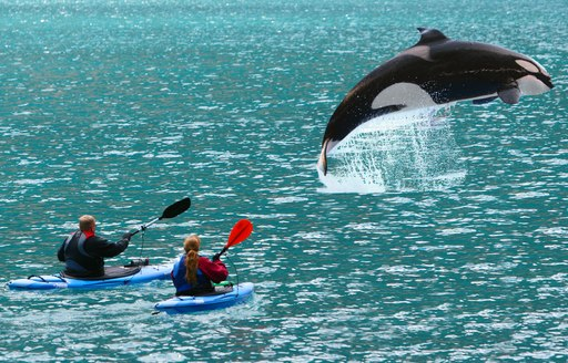man and woman on kayaks on the sea in alaska, as killer whale jumps out of ocean nearby