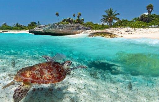 Turtle below surface of water in Tahiti