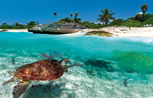 A turtle swims underwater close to a sandy beach
