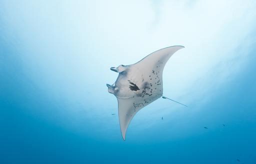 manta ray in papua new guinea