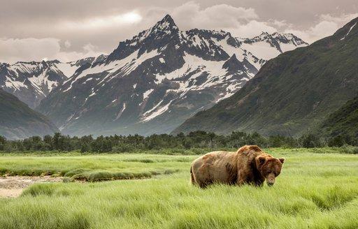 bear in field in alaska, with snowy mountain backdrop