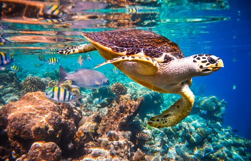 Turtle above coral reef in Thailand, Indian Ocean