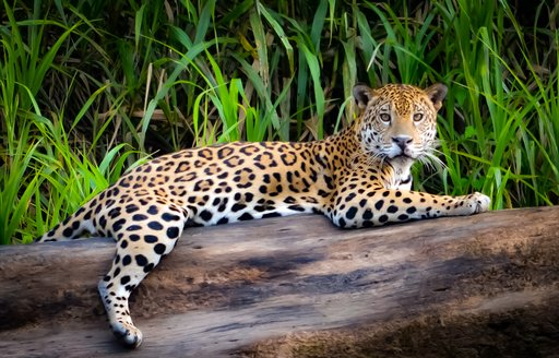 A jaguar lounges on a tree in the Amazon, South America