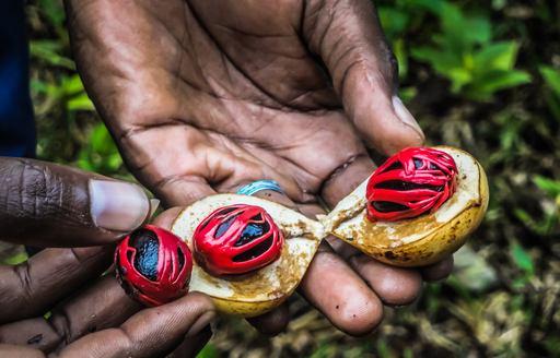 hands hold bright red nutmeg seeds on pemba island, near tanzania