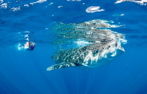 Video: Swimming with Thanda Island's resident whale sharks photo 3