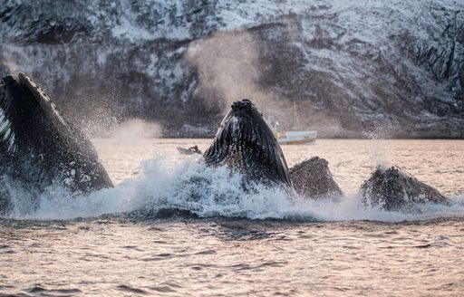 humpback whales in norway