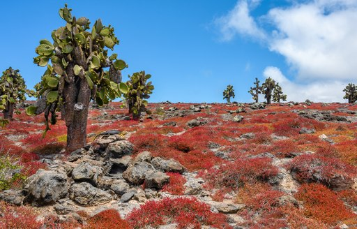 Colourful carpetweed on South Plaza Island, Galapagos