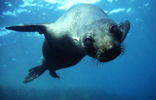 Fur Seal underwater in New Zealand