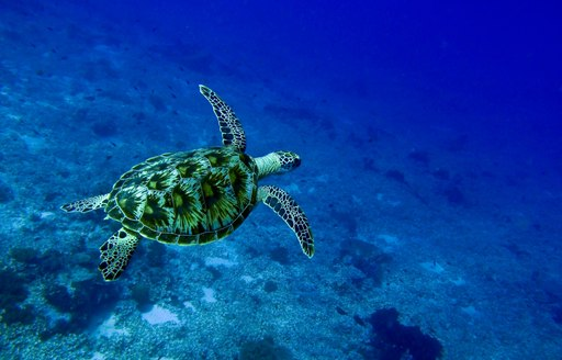 lone sea turtle swims in the clear waters of Komodo