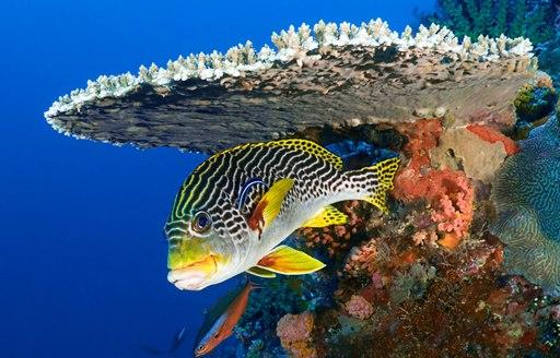 yellow sweetlips fish in Komodo, Indonesia