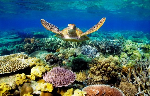 Turtle swims over colourful coral of Australia's Great Barrier Reef