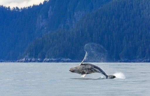 whale breaching the sea surface in alaska