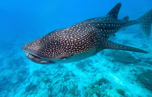 whale shark swimming in clear water in the maldives