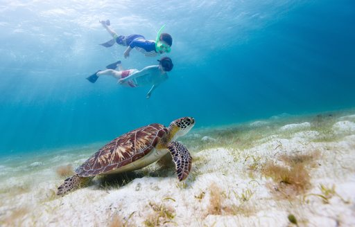 Two young charter guests snorkel in perfectly clear water above turtle in the Bahamas