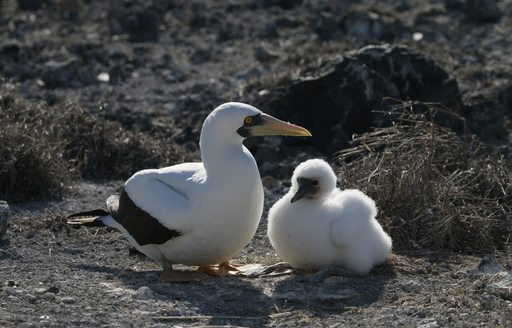 Two white fluffy birds on South Atlantic Islands