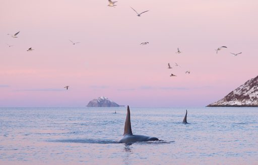 whales in norway at sunset