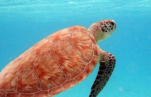 Petit st vincent turtles
