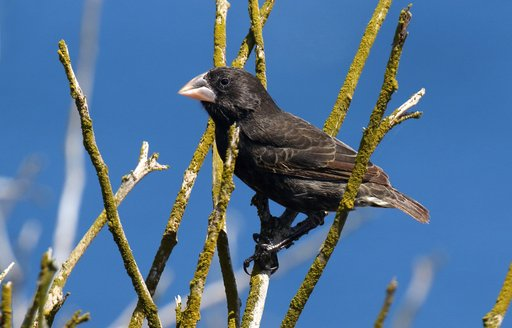 Cactus finch perched on a branch on Espanola island, Galapagos