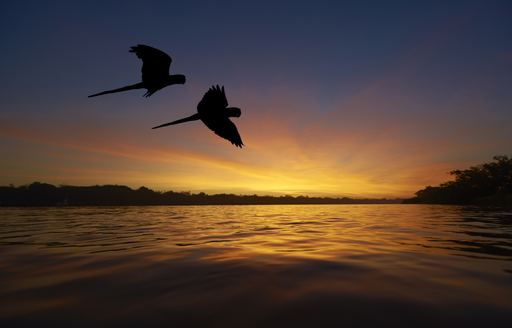 Blue macaws fly over the Amazon river at sunset
