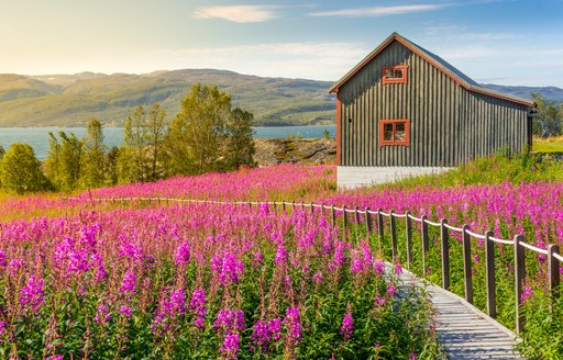 flower field in norway with secluded cabin