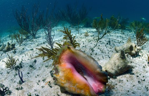 a conch under the water in clear Bahamas sea